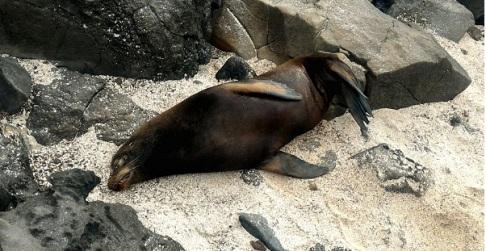 Lobo marino en las islas Galápagos.
