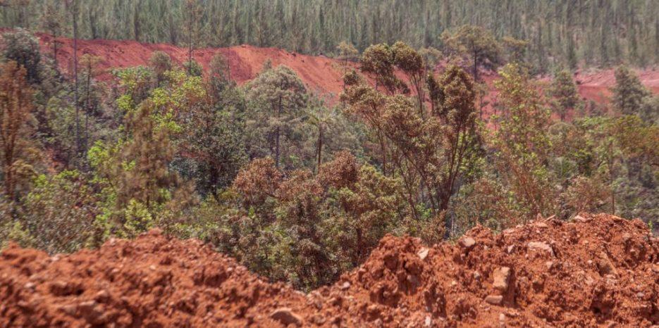 Moa es conocida por sus bosques húmedos donde prosperan ocujes, copeys, yagrumas o palmas maracaná, pero los bosques mixtos como los de las fotos se convirtieron en una rareza. Las máquinas de la industria cortan los árboles o los sacan directamente de la tierra.
